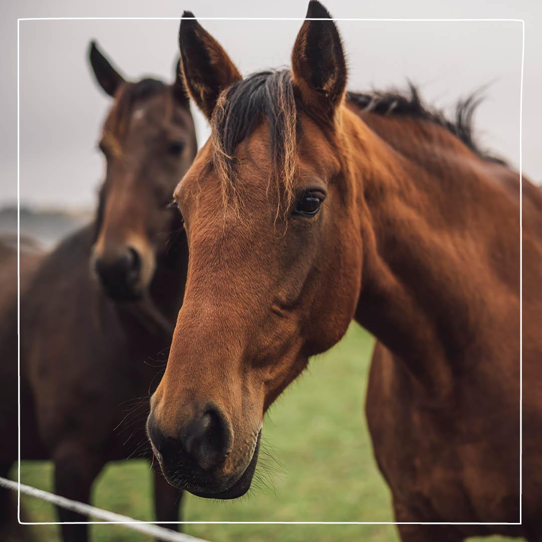 hosta häst ingen feber